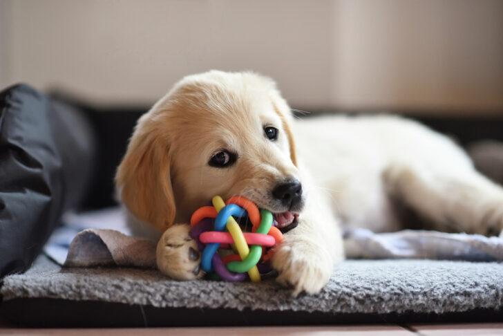 子犬があまがみする理由とは?しつけ方次第で噛み癖は改善される!